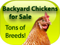 Backyard Chickens for Sale